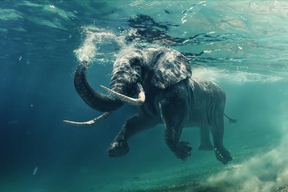 Elephant nageant